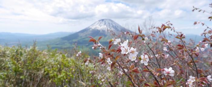 尻別岳の桜(圧縮)(R01.5.24)